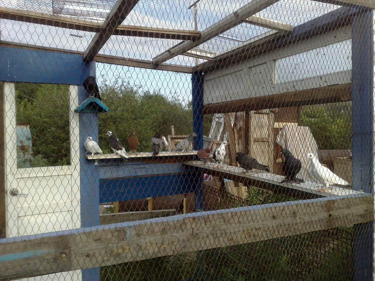 Вольер для голубей как сделать своими руками