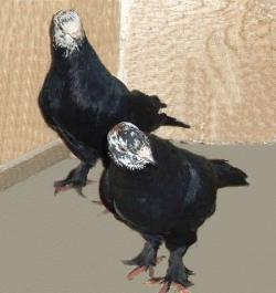 Бойные голуби бакинские бойные