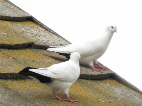 Бойные голуби бакинские бойные голуби
