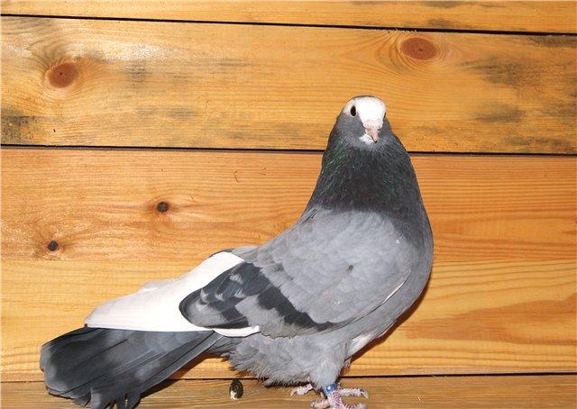 породы высоколетных голубей фото